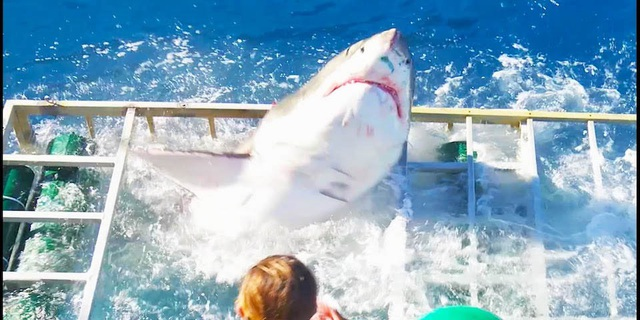 Thót tim nhìn cảnh thợ lặn đối đầu với cá mập trắng - 8