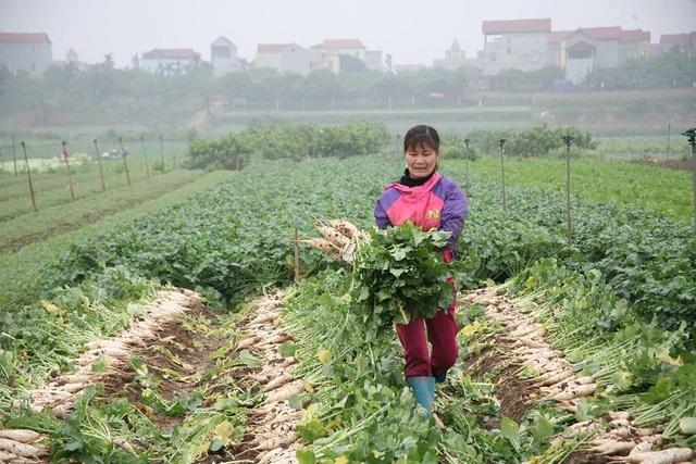 Nông dân Hà Nội ngậm ngùi vứt bỏ hàng trăm tấn củ cải trắng - 2