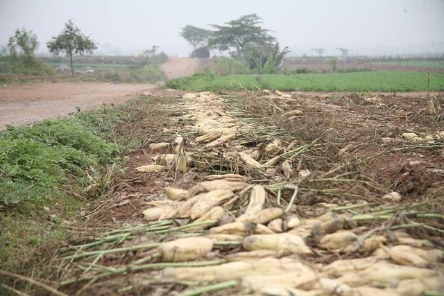 Theo quan sát, số lượng củ cải người dân nhổ bỏ tại cánh đồng ở xã Tráng Việt phải lên tới hàng trăm tấn.