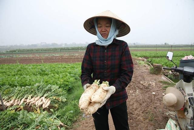 Vài ngày trở lại đây, nhiều người dân ở xã Tráng Việt ngậm ngùi nhổ bỏ hàng trăm tấn củ cải trắng trên những thửa ruộng của mình. Nguyên nhân là do giá củ cải thời điểm này quá rẻ, chỉ khoảng từ 500-1.000 đồng/kg và rất khó tiêu thụ.