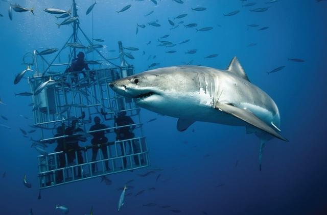 Du khách ngồi trong lồng sắt thả xuống biển để tận mắt quan sát cá mập trắng