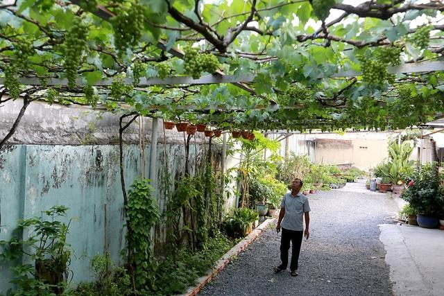 Vườn nho 400 m2 của ông Trương Văn Ở tại quận 9, TPHCM. Giống nho được ông Ở mang từ Phan Rang về, sau đó lai ghép với nho rừng.