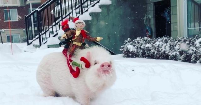 """Chú lợn """"số hưởng"""" nhất, được vi vu du lịch khắp thế giới - 2"""