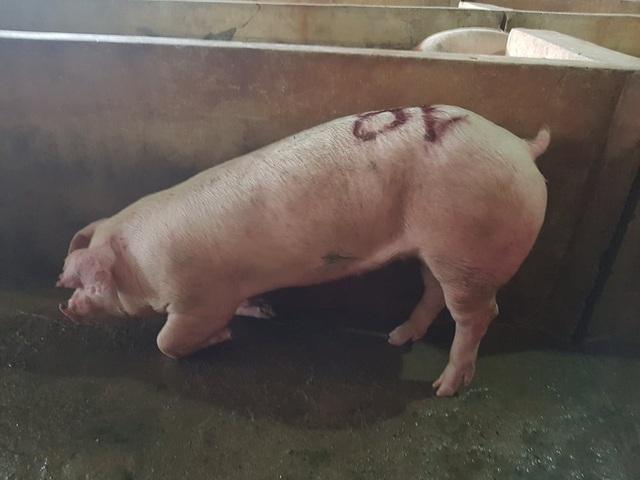Người dân nghi ngờ lợn bị nhiễm bệnh, tuy nhiên cơ quan thú y huyện Hương Khê lại chủ quan cho rằng, lợn bị thương do quá trình vận chuyển