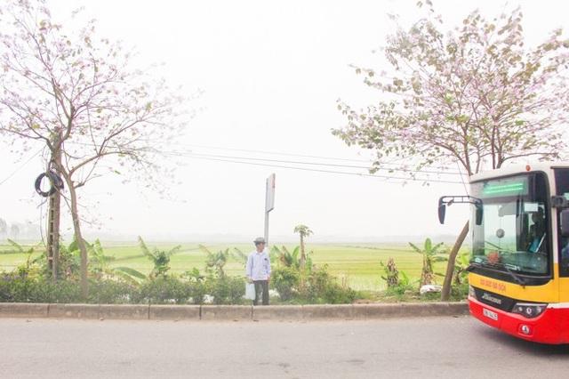 Người dân đứng đợi xe buýt bên những cây hoa ban tím.