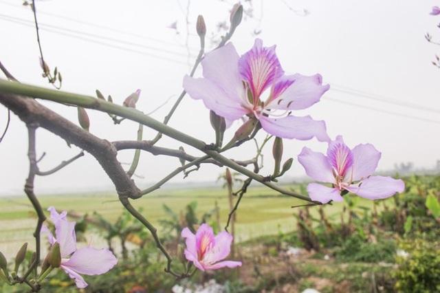 """Dân làng ngỡ ngàng vì vẻ đẹp của """"rừng"""" hoa ban ven đô Hà Nội - 6"""