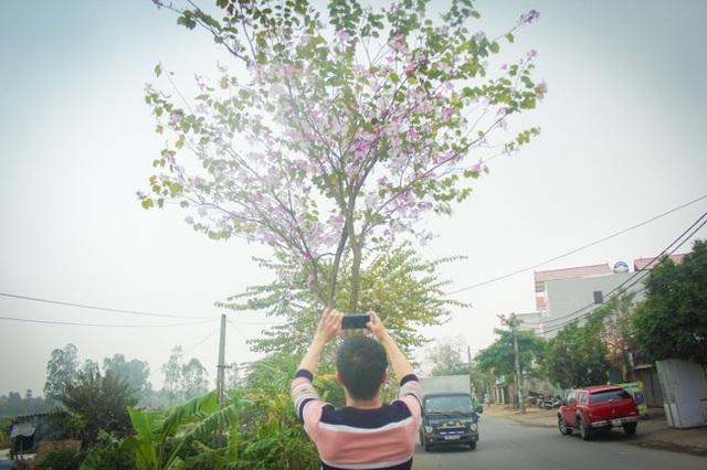 """Dân làng ngỡ ngàng vì vẻ đẹp của """"rừng"""" hoa ban ven đô Hà Nội - 9"""