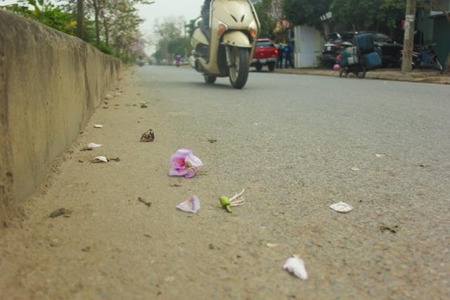 Những cánh hoa ban rơi rụng xuống mặt đường vẫn lưu vẻ đẹp.