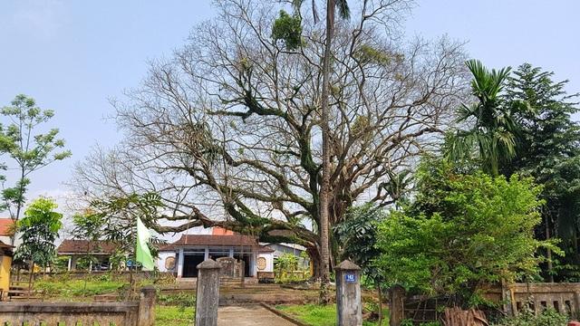 Một cây bồ đề có tuổi đời hơn trăm năm với thân to gần 10 người ôm che bóng đình làng cổ
