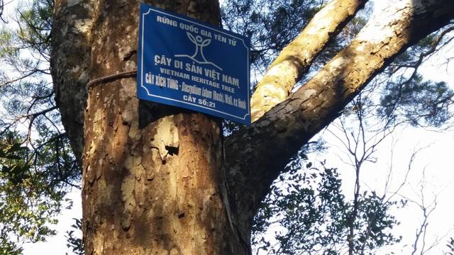 Những cây tùng cổ nhiều năm qua đã phải đối diện với nguy cơ gãy đổ, chết do sâu bệnh. Mới đây UBND tỉnh đã có quyết định phê duyệt dự án chăm sóc loại cây cổ quí giá này.
