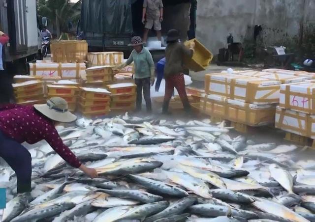 Vừa ra khơi thì đụng đàn cá, tàu cá của ngư dân Đức Phổ vật lộn suốt đêm mới bắt được 8 tấn cá bè xước.