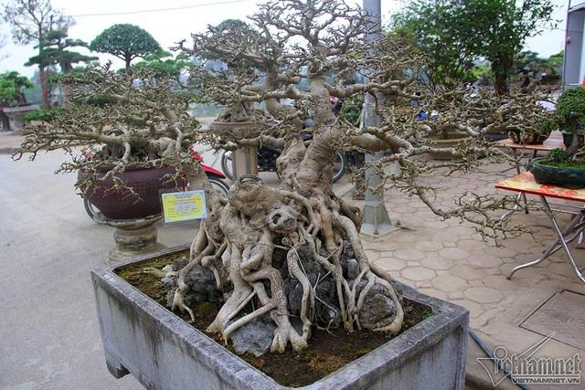 Các cây đều có thân, bệ u bướu, tay cành uyển chuyển và các dăm cành đối xứng