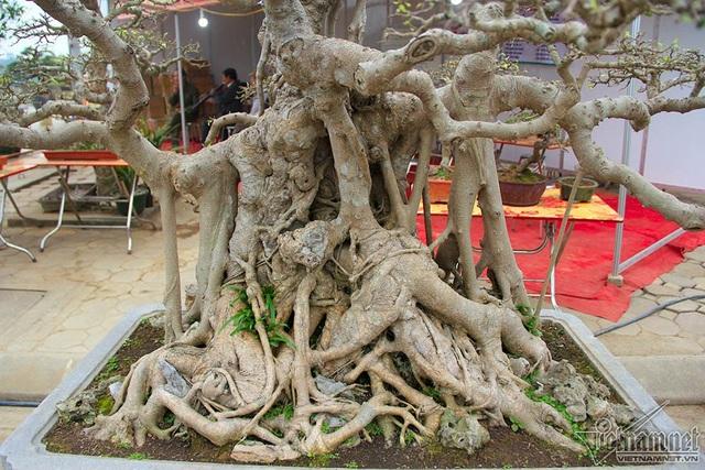 """Bộ ba cây sanh """"hóa thạch"""" 30 tỷ đồng xôn xao hội chợ Hà Nội - 7"""