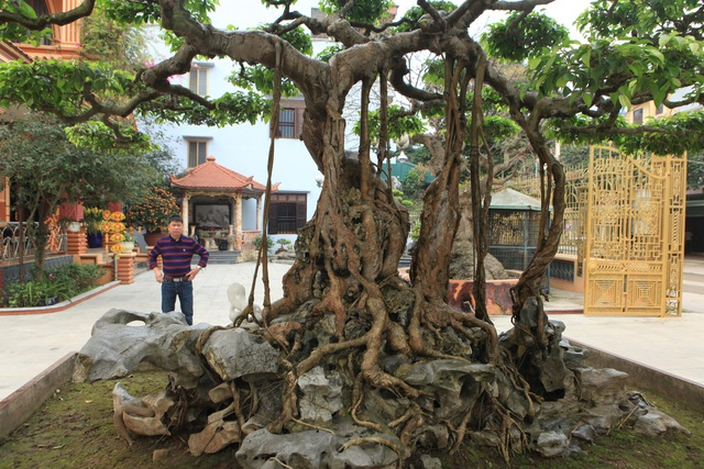 """Tác phẩm cây sanh """"nỏ thần"""" có tuổi đời trên 300 tuổi. Đây được đánh giá là cây sanh đầu bảng Việt Nam. Cây có nguồn gốc xuất xứ từ cung đình Huế xưa, trước đây nghệ nhân này đã phải chi hơn 10 tỷ đồng mới sở hữu được """"siêu cây"""" giá trị này."""
