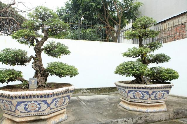 """Cặp khế cổ """"vợ chồng"""" trong sân vườn nhà anh Toàn có tuổi đời trên 400 năm. Giới chơi cây đánh giá đây là cặp khế cổ nhất Việt Nam tính đến thời điểm hiện tại. Anh Toàn cho biết, chủ nhân cũ của cặp khế cho biết, cây do đích thân vua Gia Long trồng và chăm sóc."""