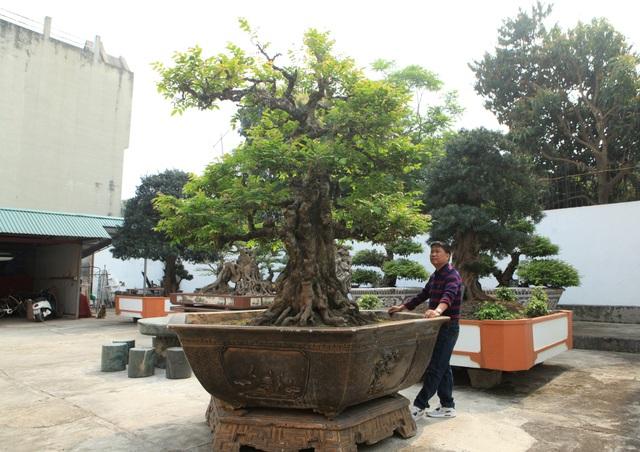 """Một cây khế cổ (ta) có tuổi đời khoảng 200 năm rong vườn nhà anh Toàn. Cây nổi bật bởi thân cổ kính, hình dáng đẹp tự nhiên, hiếm có. Theo anh Toàn, cây khế này vừa được mang đi triển lãm """"Sinh vật cảnh"""" ở Ninh Bình, có người trả giá 11 tỷ đồng nhưng anh chưa đồng ý."""