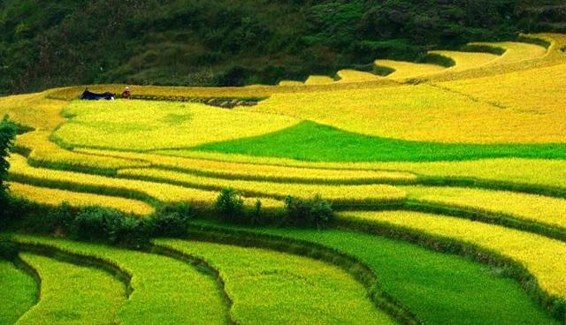 Tại Hoàng Su Phì, mùa lúa chín vàng thường vào khoảng tháng 9, tháng 10 hằng năm