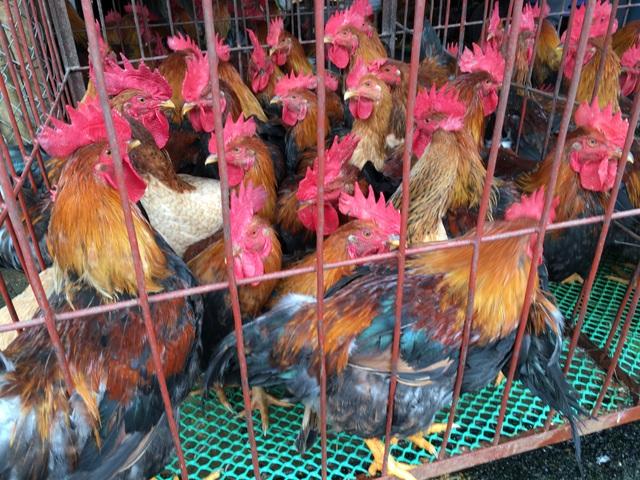 Gà trống là gà dùng để cúng lễ
