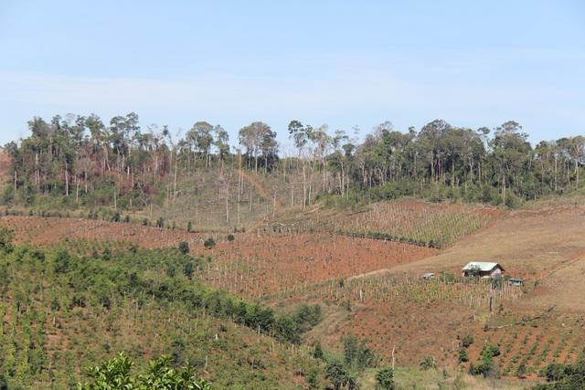 Rừng mất và đất trồng cây công nghiệp cứ mở rộng về phía những cánh rừng
