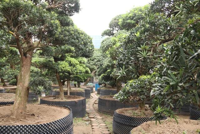 Khi về Việt Nam, tùng la hán được trồng trong các bồn đất lớn và được các nghệ nhân cây cảnh trực tiếp chăm sóc, cắt tỉa.