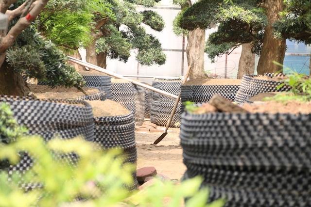 Mỗi cây tùng la hán Nhật Bản có đường kính khá lớn từ 30-80cm, cao từ 4-6m, tán lá đều, đối xứng đẹp mắt.