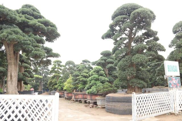 Đây được xem là vườn tùng la hán lớn và giá trị nhất ở Việt Nam hiện nay