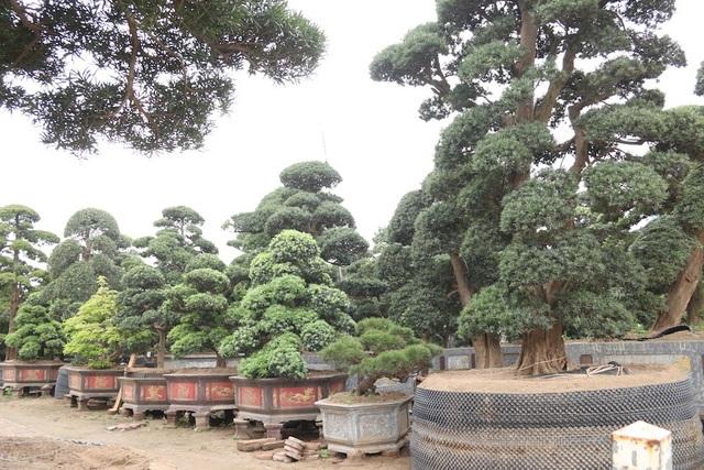 Là người yêu thích và đam mê cây cảnh của Nhật Bản đặc biệt là tùng La Hán, nên cách đây 5 năm, ông Vũ Xuân Lành (SN 1970, Hà Nội) đã cùng với một vài người bạn lặn lội sang xứ sở hoa anh đào để tìm mua các cây tùng cổ thụ.