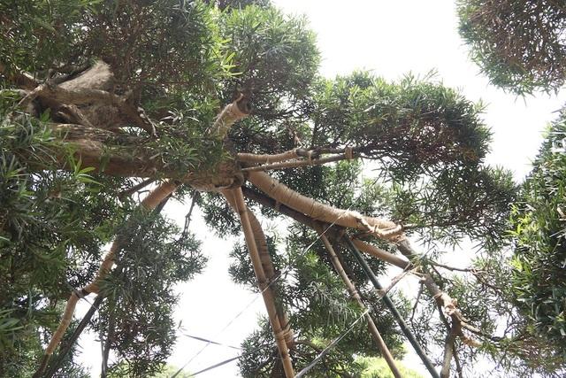 Được biết, hàng năm dòng họ Nhật từng sở hữu cây tùng quý này vẫn sang thăm và đưa nghệ nhân sang cắt tỉa, uốn thế.