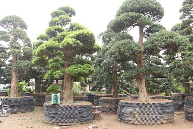 Qua nhiều năm, hiện số lượng tùng trong vườn nhà ông Lành đã lên tới 500 cây, trong đó đa phần là các cây tùng cổ thụ có tuổi đời từ 80 – 600 năm, nhiều cây trong số đó được định giá lên hàng chục tỷ đồng. Đây cũng được xem là vườn tùng lớn và giá trị nhất Việt Nam hiện nay.