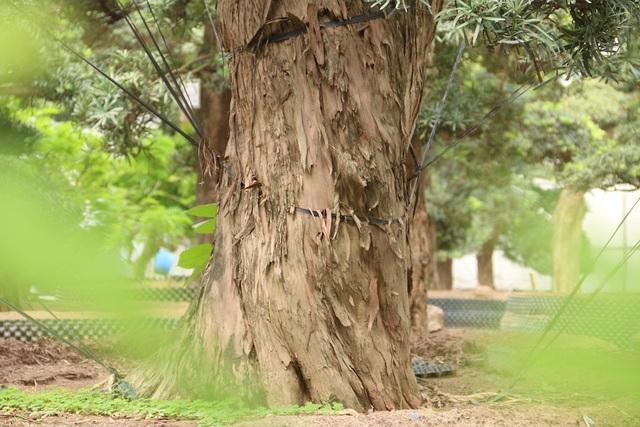 """Ông Lành cho biết đã phải theo đuổi đến 3 năm mới thuyết phục thành công. Trong đó, chỉ tính riêng tiền cây đã vào khoảng 10 tỷ đồng, chưa kể chi phí vận chuyển, thuê tàu chở về Việt Nam. """"Cây tùng có thân xù xì, đường kính gốc lớn, dáng thế uốn tỉa tự nhiên. Rất nhiều tay chơi ở Đài Loan, Trung Quốc… sang thương lượng nhưng đều bị chủ từ chối do họ muốn tỉa cây theo ý mình. Tôi thì giữ nguyên hiện trạng của cây và phong cách bonsai của Nhật nên họ mới đồng ý bán"""", ông Lành kể."""