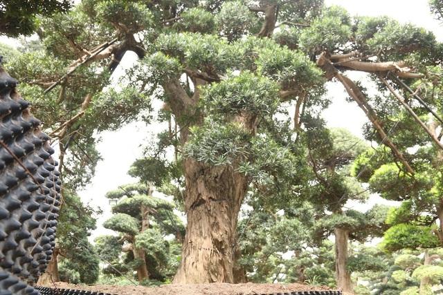 Nổi bật trong số đó là cây tùng la hán cổ thụ có tuổi đời vào khoảng 600 năm, của một dòng họ nổi tiếng ở vùng Chiba Nhật Bản. Cây cao khoảng 5m, đường kính gốc là 80cm, có dáng thế tự nhiên. Đây là một trong những cây tùng cổ có tuổi đời lâu năm hiếm hoi ở Nhật Bản.