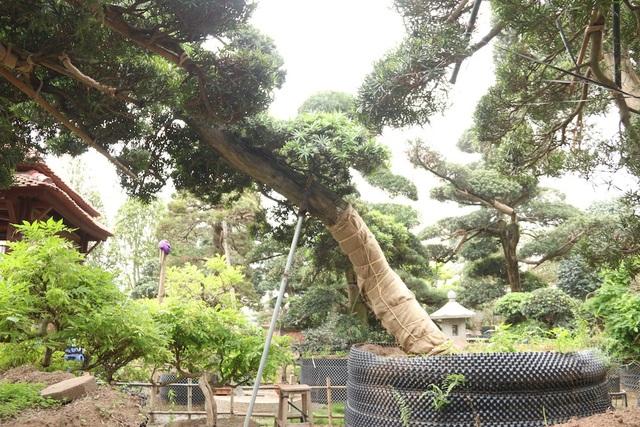 """Theo ông Lành, cây Tùng la hán là loài cây quý, tượng trưng cho vẻ đẹp, khí phách của người quân tử. Ở Nhật Bản, những cây tùng cổ thụ có tuổi đời vài trăm năm được người dân ở đây coi như """"báu vật"""". Chính vì thế, để sở hữu được những cây tùng quý, ông Lành phải mất nhiều thời gian đi lại, thương lượng mới thành công."""