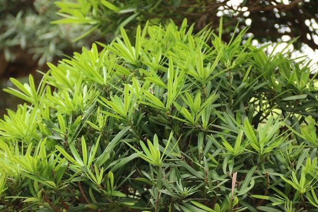 Trung bình mỗi cây tùng la hán Nhật Bản ở vườn ông Lành có giá bán từ vài trăm triệu cho đến cả chục tỷ.