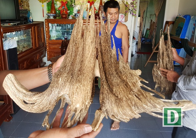 Một chủ lò soi trầm ở huyện Vạn Ninh tiết lộ rằng, anh có hàng chục cây trầm cảnh khác nhau, có cây lên tới hàng chục triệu đồng