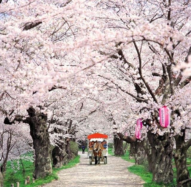 Rực rỡ sắc hoa anh đào Nhật Bản (ảnh: Internet)