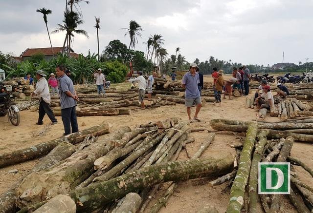 Người dân xã Vạn Thắng (huyện Vạn Ninh, Khánh Hoa) đang lựa chọn mua cây dó bầu để đem về soi trầm