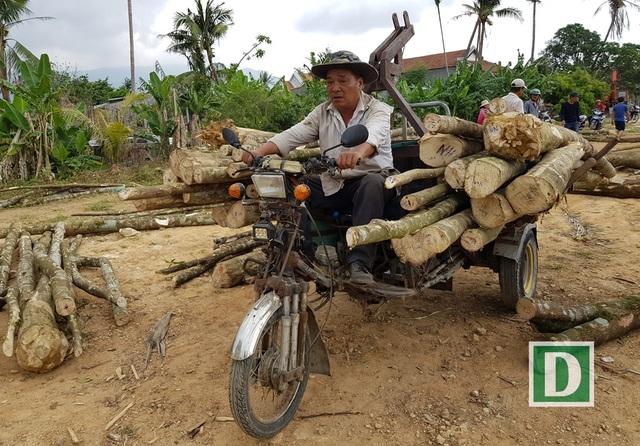 Các chủ lò trầm hối hả chở từng xe nhỏ cây dó bầu về nhà để gia công trầm hương