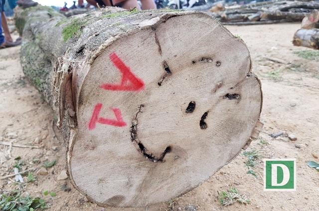 Một thân cây dó bầu có nhiều vết thương và chắc chắn bên trong sẽ có nhiều trầm hương