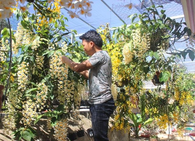 Để cho ra những chùm hoa đẹp đúng thời điểm, anh Sơn phải tỉ mỉ chăm sóc từng nhánh hoa