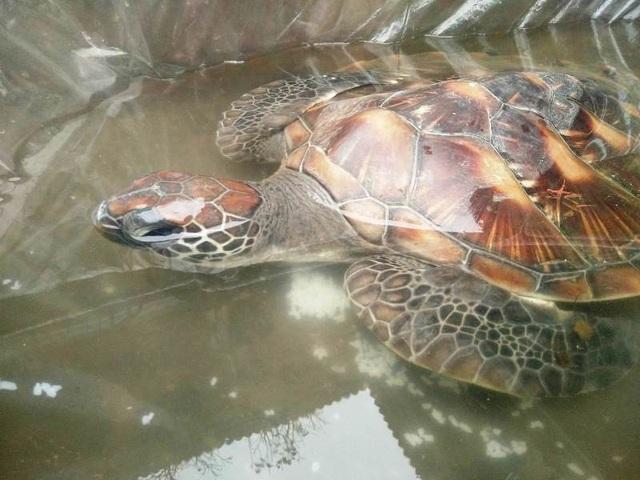 Cá thể rùa được giải cứu hiện đang được nuôi tại chùa Thiên Long
