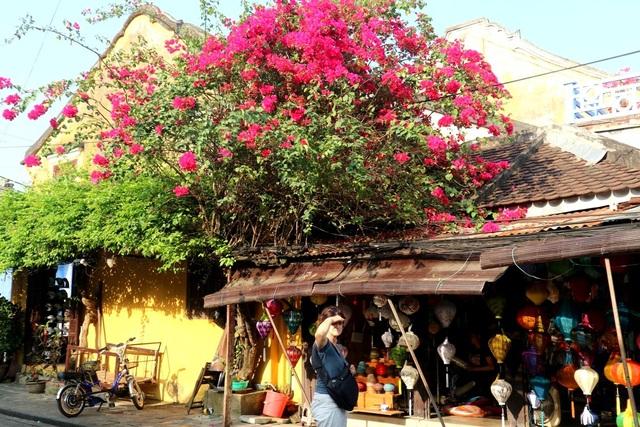 Những giàn hoa leo tại Hội An: hoa giấy, tóc tiên… mọc trên các hiên nhà trong phố cổ cũng là điểm nhấn thú vị tại đây