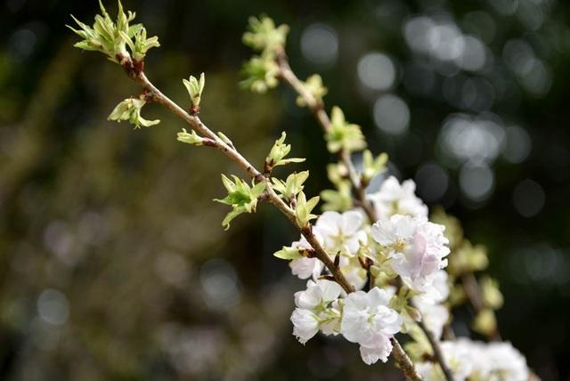 Vẻ đẹp tinh khôi của hoa anh đào trắng.