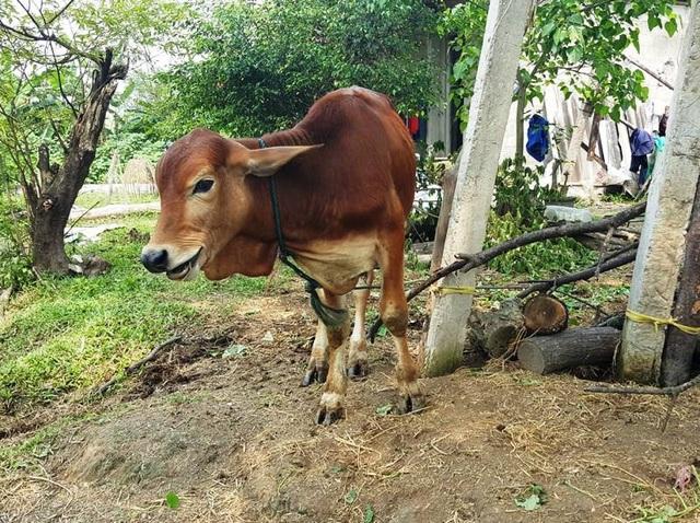 Sau khi báo chí nêu về sự bất minh trong việc cấp bò giống, Cơ quan chức trách đã kiểm tra và khẳng định 5 con bò giống đã bị bán