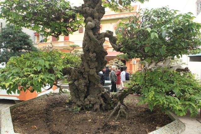 ể sở hữu được cây quý, đại gia đất Việt Trì phải mất khá nhiều thời gian đeo đuổi, thuyết phục.