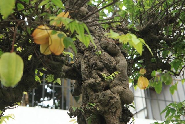 Cây ra từng chùm quả, mùi thơm mát đặc trưng