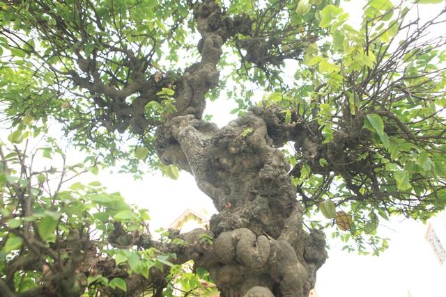 Mỗi cây cao gần 3m, đường kính một người lớn ôm mới xuể