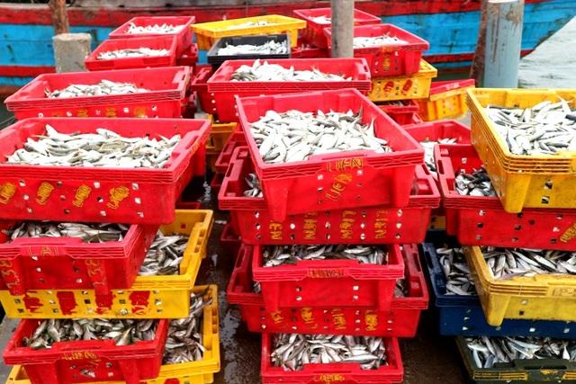 Cá nục vào mùa mang lại sản lượng khá lớn