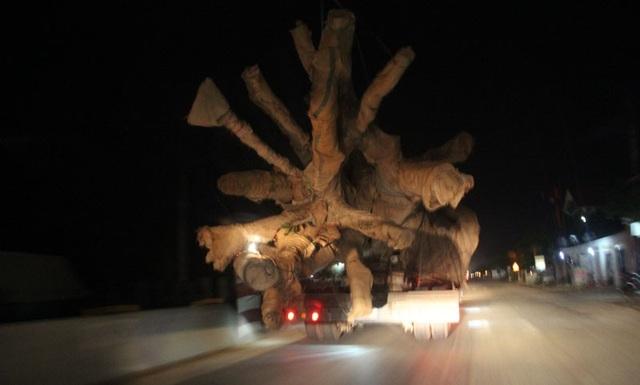 Chi cục trưởng kiểm lâm Quảng Bình bác thông tin, cây khủng trên xe quái thú có nguồn gốc từ Quảng Bình.