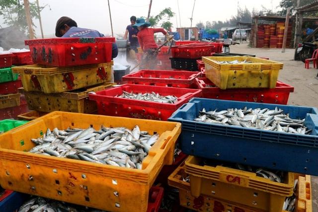 Cá cho sản lượng lớn khiến ngư dân rất vui mừng