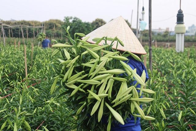 Để đáp ứng được nhu cầu lớn của thị trường, người dân làng Tây Tựu những ngày này phải tất bật xuống vườn thu hoạch hoa.